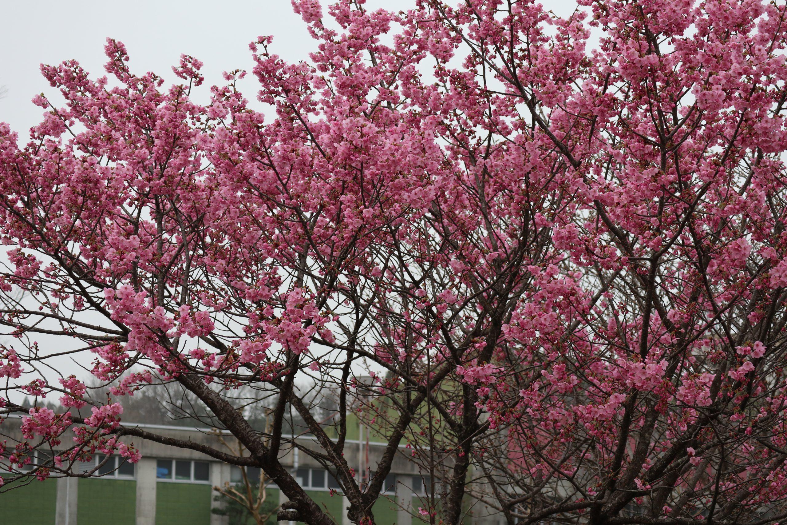 満開の桜が・・